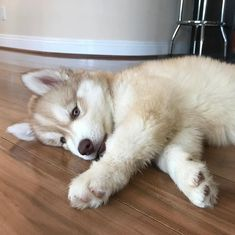 Wonderful All About The Siberian Husky Ideas. Prodigious All About The Siberian Husky Ideas. Cute Puppies, Cute Dogs, Dogs And Puppies, Doggies, Perro Pomsky, Malamute Husky, Samoyed Dog, German Dog Breeds, Cute Husky