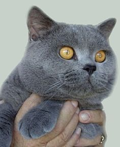British Blue (the teddy bear of cats) would love to adopt one someday