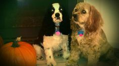 My fur-children: Amun-Ra and Sage Marie! Halloween 2012