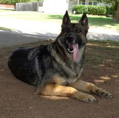 Breeders of Large Old – Fashioned German Shepherds With Straight Backs, Large Heads, and Thick Bones Black and Silver, Black and Cream, White, Silver Sable, Bi-Color Black and Tan, Black, and Sable Halo 2014