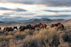 Local Wild Horses in the California High Desert.