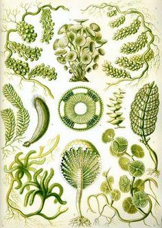Haeckel's Kunstformen der Natur