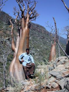Incredible Trees Of The Socotra Islands