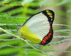 Papua Insects Foundation (Lepidoptera/Pieridae/Pierinae(Delias lara)