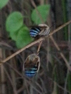 Beautiful bees with blue stripey bottoms ... how cute are they