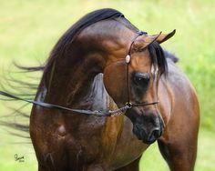 SEMPER FIE (Sir Fames HBV x Crimson Sharem) 2005 Bay Stallion