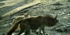 Researchers say these ancient wolves diverged from other wolves and dogs hundreds of thousands of years ago.