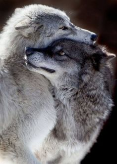 Wolf hugs<- Very fighty, violent wolf hugs. That's actually fighting.