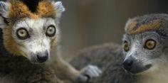 Indre : naissance exceptionnelle de quatre petits Lémurs