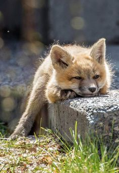 Red Fox Cub - So Precious!!!                                                                                                                                                                                 More