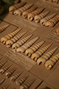 Turritella fossils, handwritten labels