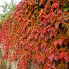 Virginia Creeper vine fall color is gorgeous