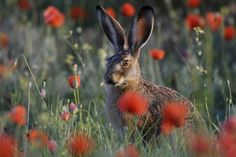 A hare in the poppies  #nature #hare
