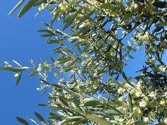 L'olivier bio, élixir de Bach par DEVA les émotions