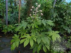 Fatsia Polycarpa 'Green Fingers' from Burncoose Nurseries Fatsia Japonica, Evergreens For Shade, Architectural Plants, Garden Shrubs, Low Maintenance Garden, Back Gardens, Shades, Nurseries, Fingers