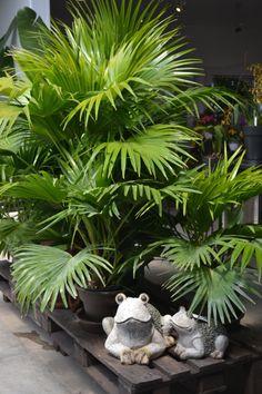 Jardin for Palmier nain exterieur