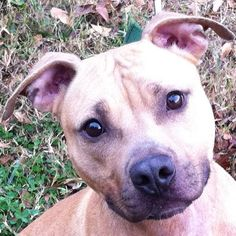 1/25/2016 Still waiting! Please adopt, foster, donate! Adoptable Dog called Dre, a young male Pit Bull Terrier Mix (Atlanta, GA). He is a super dog, good with people and female dogs, loves walking, knows commands, neutered. He was sick and starving as a young puppy and now healthy needs a chance for a good home.