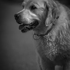 Black and white portrait of a dog by Anita Horvat Display Advertising, Print Advertising, Marketing And Advertising, Retail Merchandising, Beach Images, Dogs Golden Retriever, Black And White Portraits, Us Images, Dog Photos