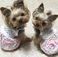 Mini Yorkie, Teacup Yorkie, Yorkie Puppy, Teacup Puppies, Cute Little Animals, Cute Funny Animals, Baby Animals, Cute Dogs And Puppies, Pet Dogs