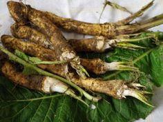 Jak využít křen v boji s nachlazením Korn, Asparagus, Carrots, Meat, Chicken, Vegetables, Gardening, Lemon, Studs