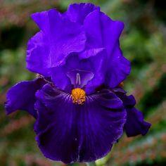 Iris 'Belle Hortense'
