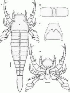 http://fr.cdn.v5.futura-sciences.com/builds/images/thumbs/3/3b87459c40_Scorpion-Des_Mers_Dessin.gif
