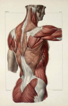 Figure Drawing Tutorial Vintage Medical Human Back Body Muscles Anatomy Poster - Human Figure Drawing, Figure Drawing Reference, Anatomy Reference, Pose Reference, Body Muscle Anatomy, Illustrations Médicales, Drawing Body Poses, Drawing Muscles, Anatomy Images