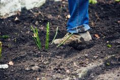 How to plant a potted shrub rose - Advice & Inspiration David Austin Roses, Shrub Roses, Climbing Roses, Garden Inspiration, Shrubs, Exterior, Flowers, Gardening, Advice