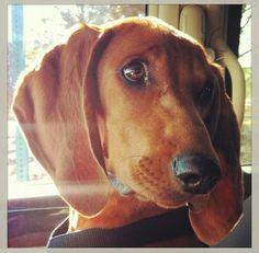 Dakota Redbone Coonhound Redbone Coonhound, Bloodhound, Hound Dog, Big Dogs, Dog Stuff, Beagle, Cute Pictures, Hunting, Fishing