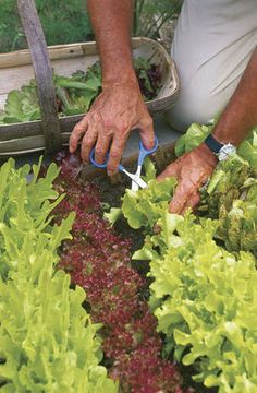Cut-and-Come-Again Lettuce - varieties of lettuce you can cut, and that will grow back (like grass) for our little veggie garden! Permaculture, Farm Gardens, Outdoor Gardens, Homestead Gardens, Organic Gardening, Gardening Tips, Vegetable Gardening, Veggie Gardens, Organic Farming