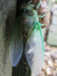 cicada by Golly Bard......I clearly remember the sound of the cicadas in North Carolina. Most people don't know what they are.