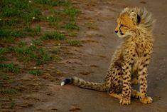 Lil Cheetah baby! :D