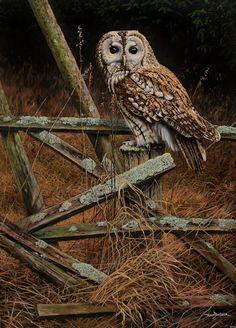 W11.  Tawny Owl on fence - 60x80cm