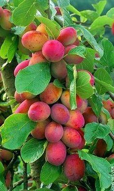 Image result for training plum trees uk