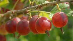 obrázek z archivu ireceptar.cz Garden Park, Edible Garden, Compost, Volubilis, Pergola, Flora, Berries, Gardening, Plants