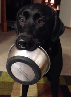 Hungry Black Lab. looks like my R.C. and yes he's always hungry...lol