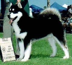 Black & White Alaskan Malamute