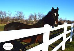 Beautiful Morgan Horse @ Hardwood Creek Farm in #Minnesota. {Taken by Julia Arnold @ jaequinephotography.wordpres.com} #equinephotography #morganhorse #photography #horses