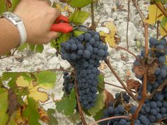 Grapes Harvest in Tacchino Raffaele Wineyards in Piedmont 5