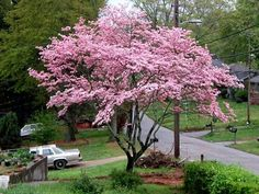 Flowering pink dogwood tree