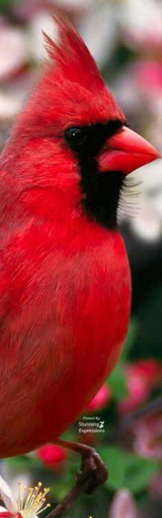 Cardinal   ❤❤♥For More You Can Follow On Insta @love_ushi OR Pinterest @anamsiddiqui12294 ♥❤❤
