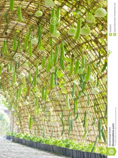 Photo about Path in Calabash Tunnel. Calabash or Bottle Gourd is Dried And Used as a Bottle or Pipe. Image of tunnel, pergola, ornamental - 35632558 Vegetable Garden Planning, Backyard Vegetable Gardens, Veg Garden, Vegetable Garden Design, Garden Trellis, Fruit Garden, Edible Garden, Farm Gardens, Outdoor Gardens