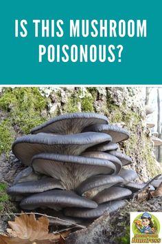 Is This Mushroom Poisonous? Mushroom Varieties, Poisonous Mushrooms, Hunting, Stuffed Mushrooms, Herbs, Gardening, Number, Flowers, Plants