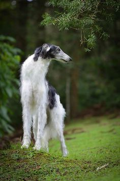 "Borzoi named ""Constantino"". #animals #dogs"