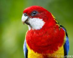 rosella-bird-nz.jpg (800×640)