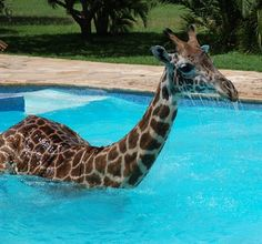 Stop it right now! It doesn't get any cuter than a giraffe in swimming pool
