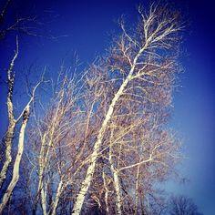 #WonderWatch 2015-13 Bending Birch #TreesPlease 2