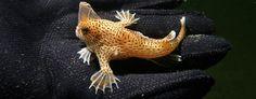 Handfish (Tim Lynch/CSIRO)