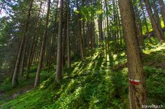 Green forest in South Tyrol