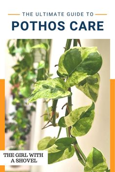 Here's exactly what you need to know to keep your pothos vine alive! With light, water, and additional tips, this gives you the foundation you need to keep your houseplant alive! Pothos Vine, Pothos Plant, Air Plants, Indoor Plants, Light Water, Plant Care, Houseplants, Need To Know, Diy Design
